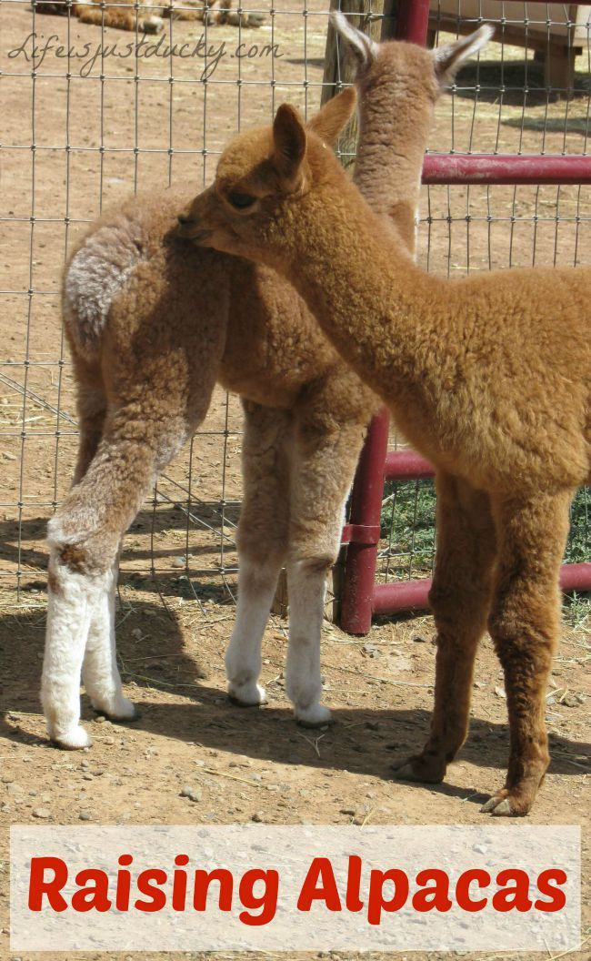 Raising Alpacas Life Is Just Ducky Alpaca Raising Farm