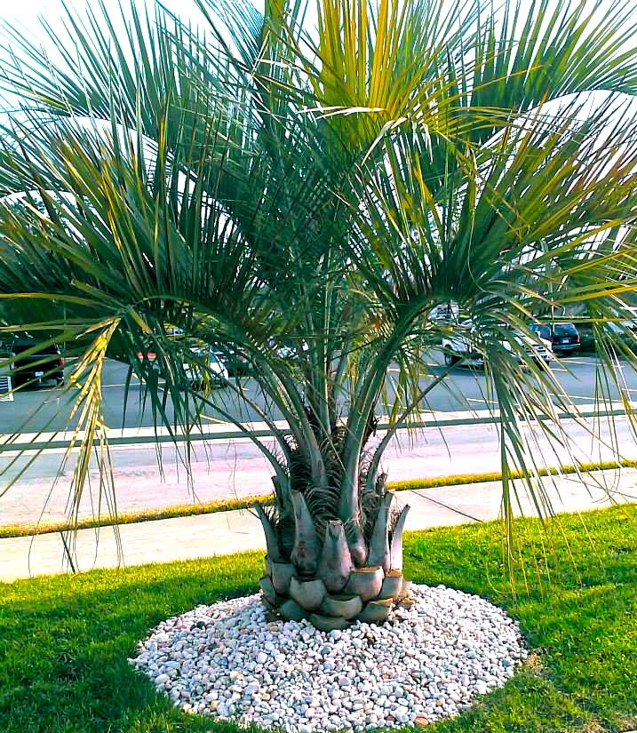 Pindo Palm Jelly Palm Cold Hardy Palms Palm Trees Landscaping Tropical Landscaping Garden Landscape Design