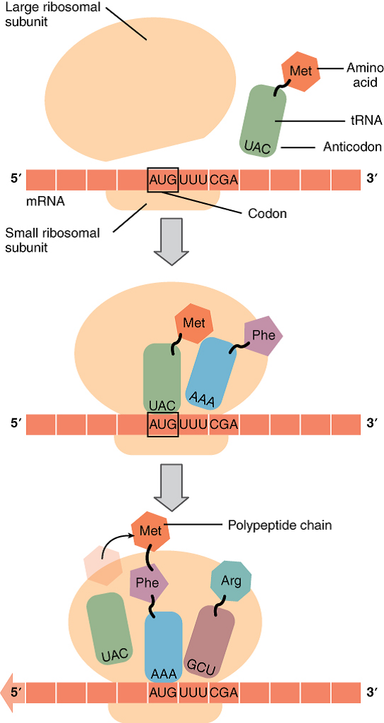 Illustration Of Translation From Rna To Protein Openstax Anatomy