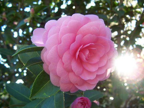 Camellia Flower Garden Camellia Camellia Flower Flowers Planting Flowers