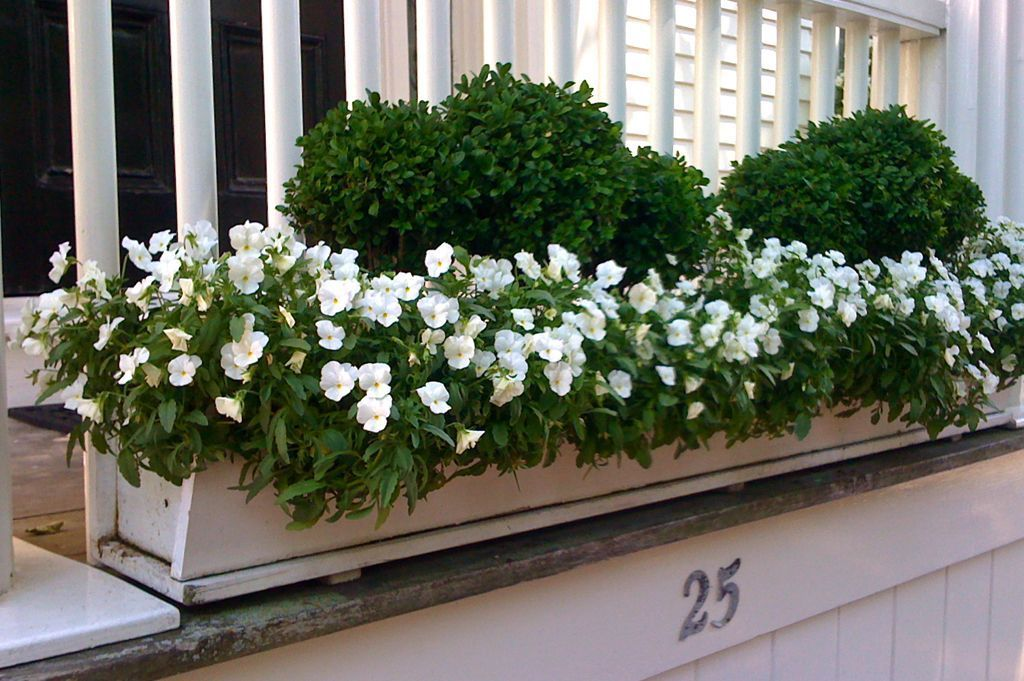 Welcome Miniature boxwood makes this window box stuffed with delicate all-white pansies…Miniature boxwood makes this window box stuffed with delicate all-white pansies…