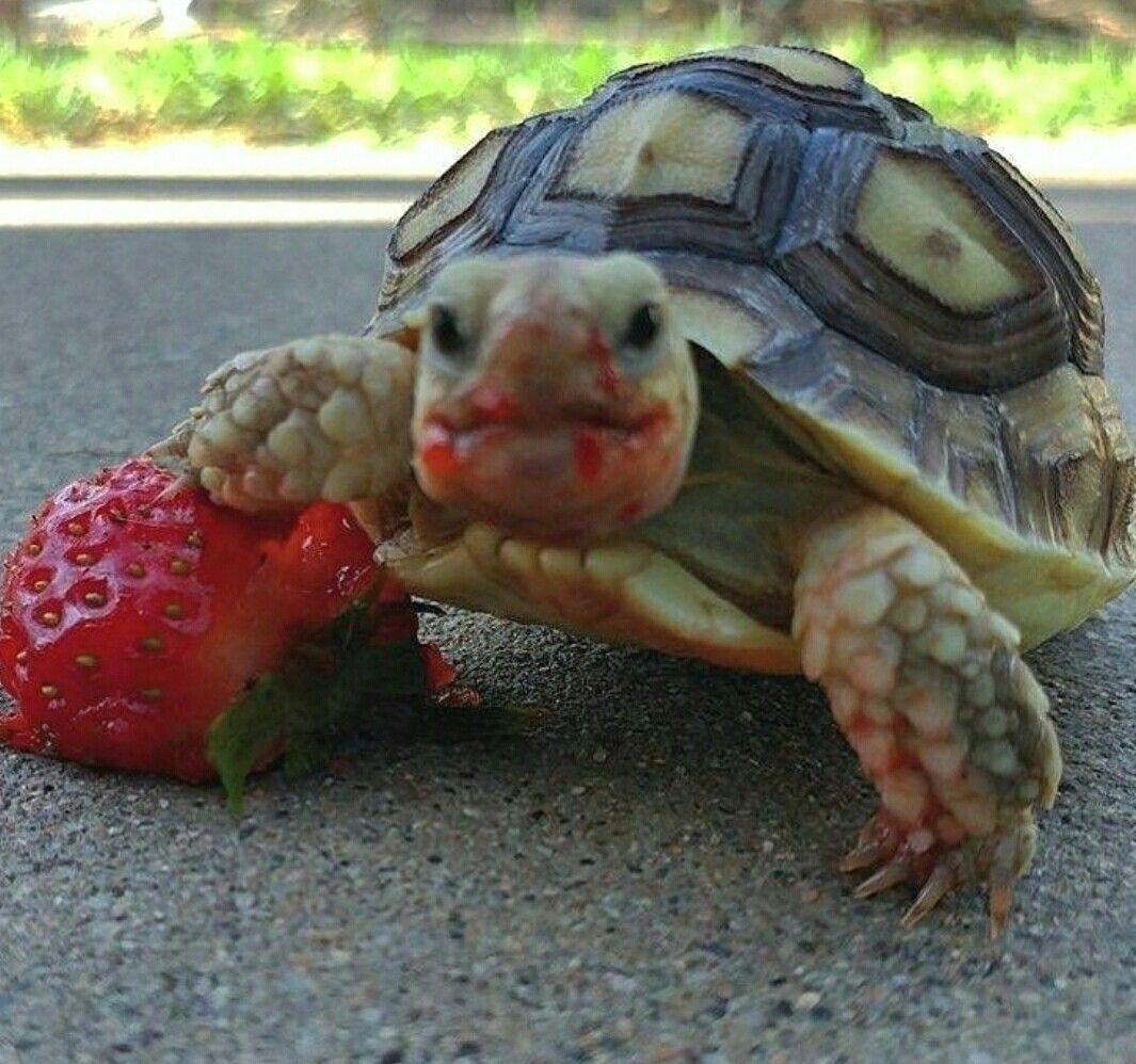 Nummy's          Tortoise Diet   Cute tortoise, Pet turtle, Cute turtles