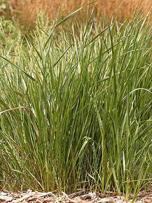 Sweetgrass Herbs Grass Seed Grass