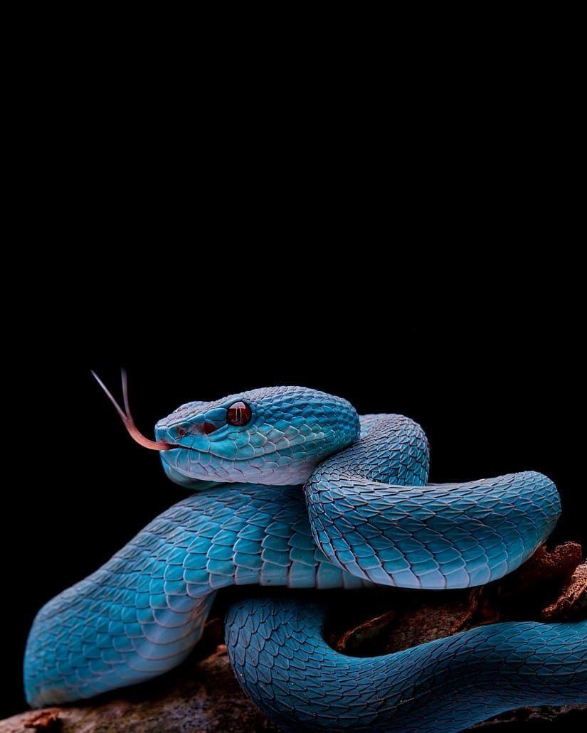 Iiii Pit Viper Snake Wallpaper Snake Images