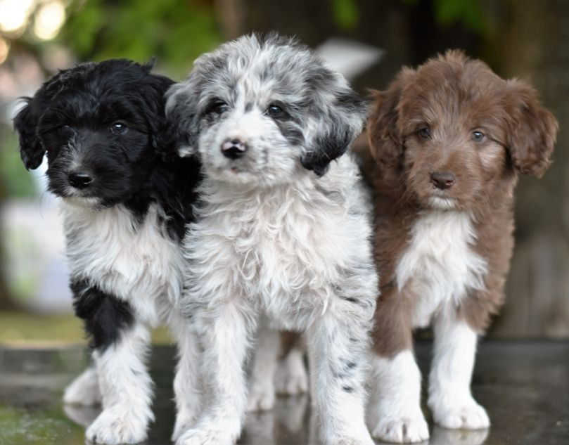 Puppies Oregon Bordoodles Puppies Cute Animals Pets