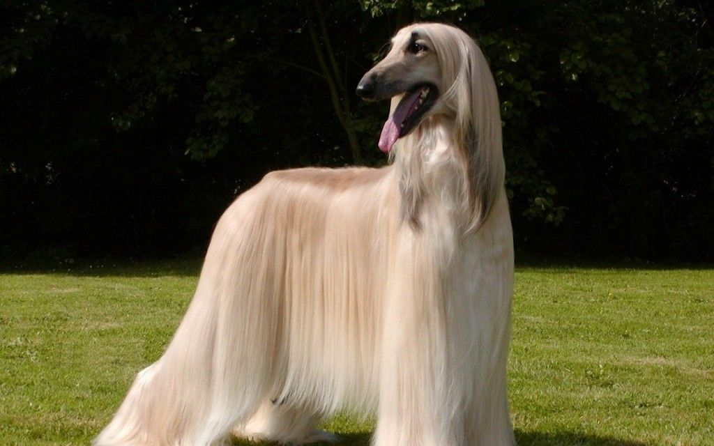 photos of tall large breed long haired dogs
