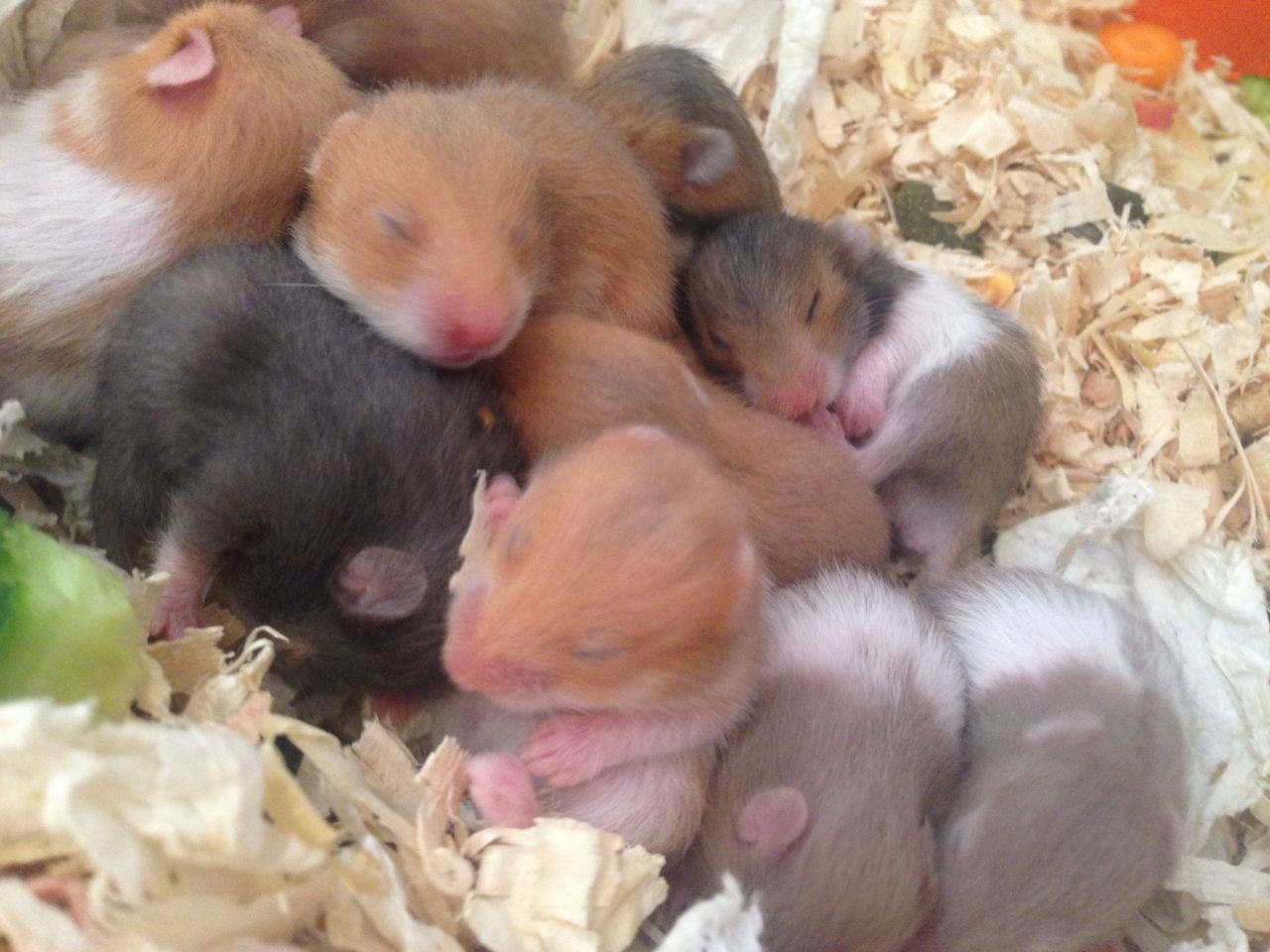 Baby Syrian Hamsters Only 7 Left Walsall West Midlands