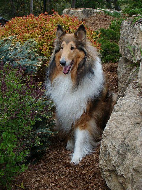 Kody In Wisconsin Dells By Sylvia1sam Via Flickr Collie Dog
