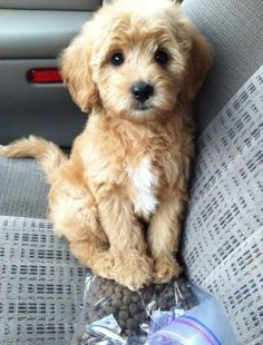 Teddy Bear Schnoodle Puppies Google Search Cute Animals