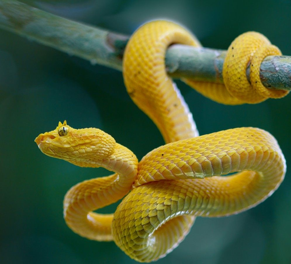 Yellow Eyelash Viper | Snake, Viper snake, Beautiful snakes
