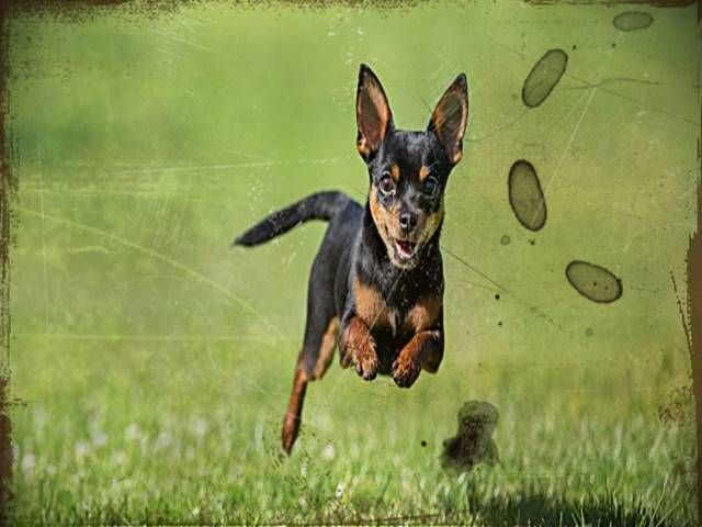 Chihuahua And Rottweiler Mix Rottweiler Mix Rottweiler German