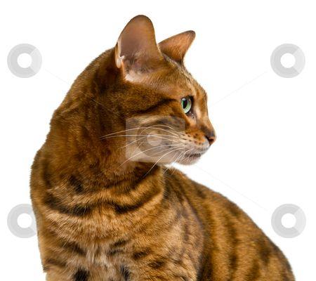 Bengal cat looking sideways in profile stock photo