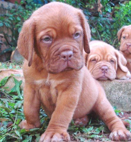 French Mastiff Puppies