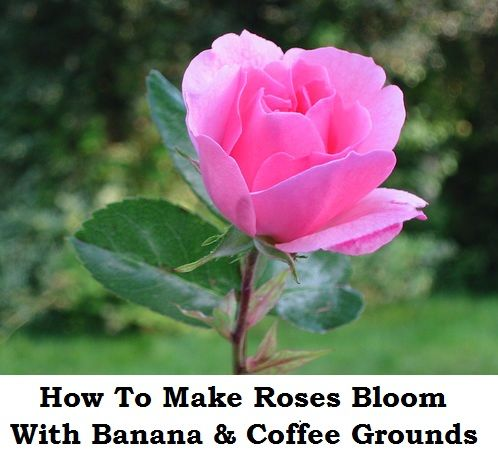 How To Make Roses Bloom With Banana Coffee Grounds Pink Flower Pictures Beautiful Pink Flowers Beautiful Pink Roses