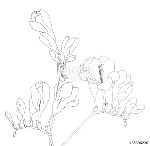 Image Result For Freesia Flower Drawings Flower Drawing Drawings Freesia Flowers