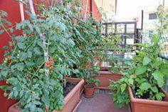 gemüse auf dem balkon pflanzen - 9 gemüsesorten für anfänger, Terrassen ideen