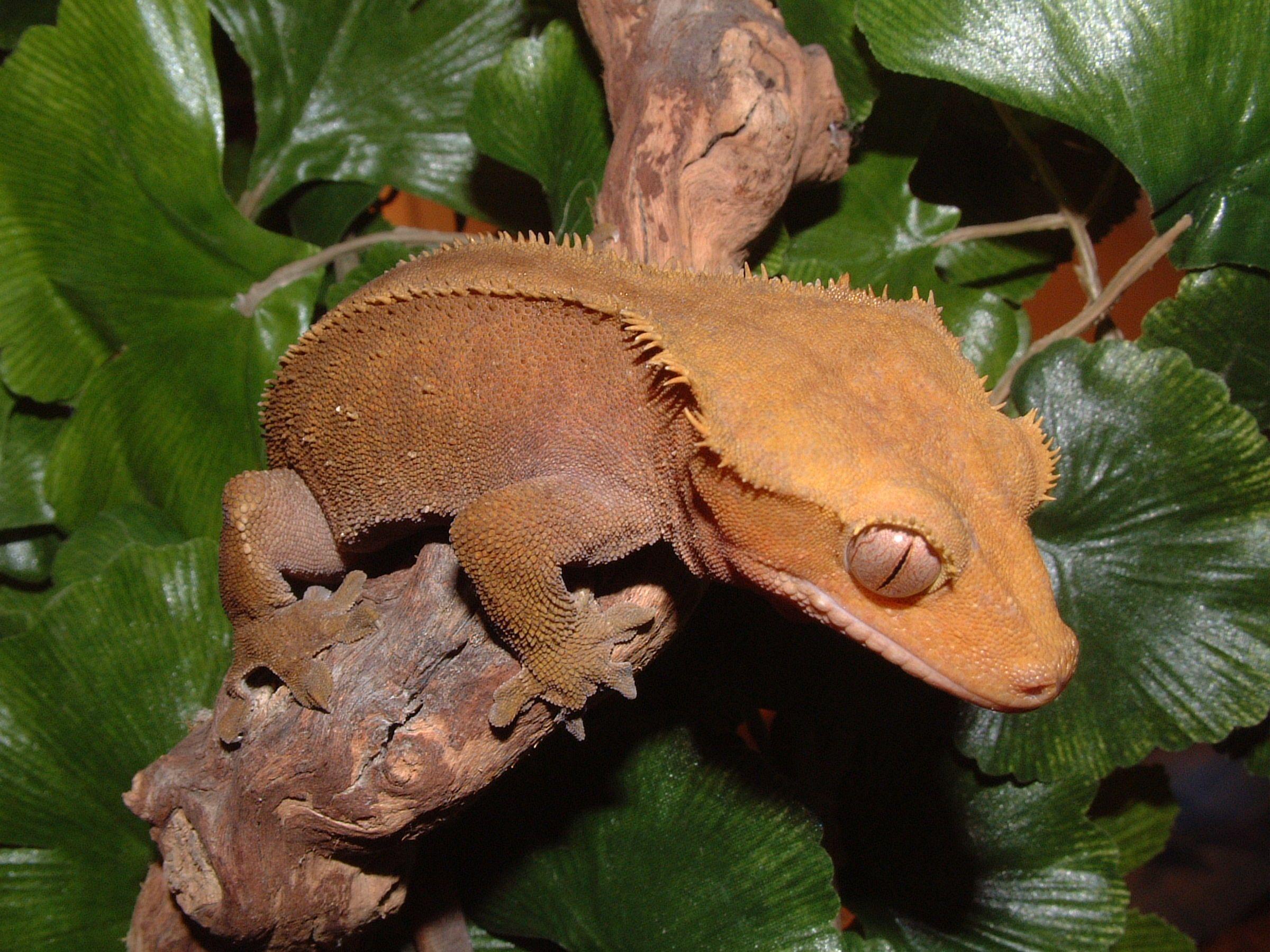 Crested gecko at Northampton Reptile Centre Reptiles pet