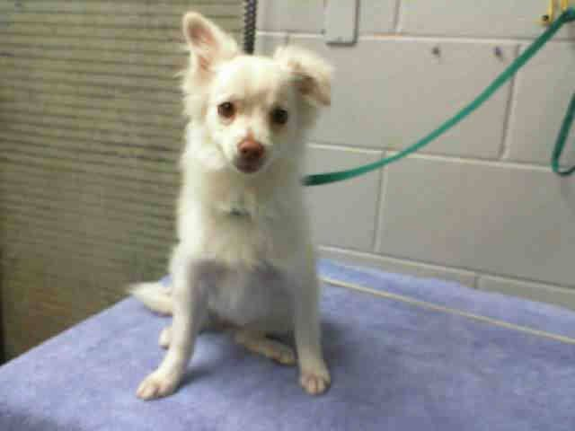 #A476244 Release date 12/5 I am a female, white Chihuahua - Long Haired. Shelter staff think I am about 1 year old. I have been at the shelter since Nov 27, 2014.    For more information about this animal, call: San Bernardino City Animal Control at (909) 384-1304 —  https://www.facebook.com/photo.php?fbid=10204028463009462&set=a.10203202186593068&type=3&theater