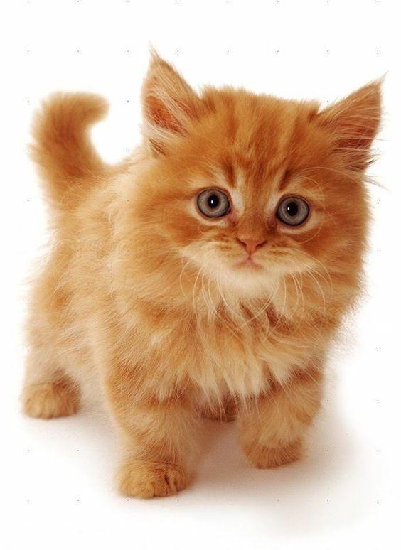 Photo of Gatos enanos: todo lo que necesitas saber sobre el enanismo felino