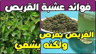 اشربوا منقوع عشبة القراص إذا كنتم تعانون من إحدى هذه المشاكل الصحية القريص يقرص ولكنه يشفي How To Dry Basil Herbs Plants