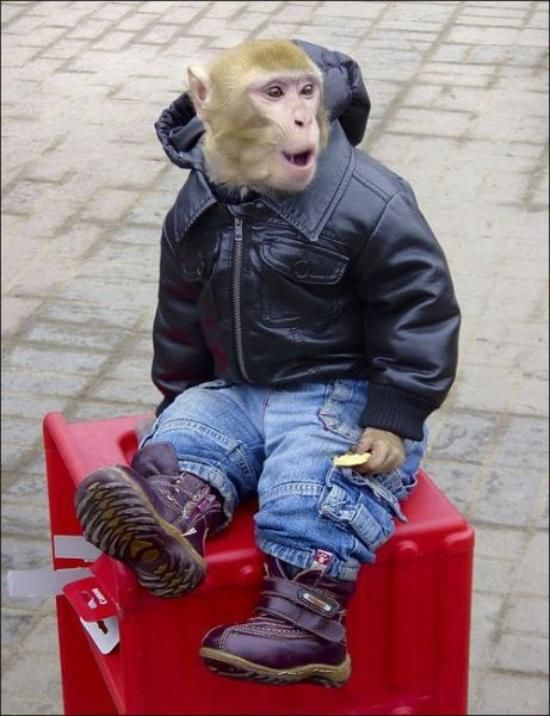 monkeys in clothes 8