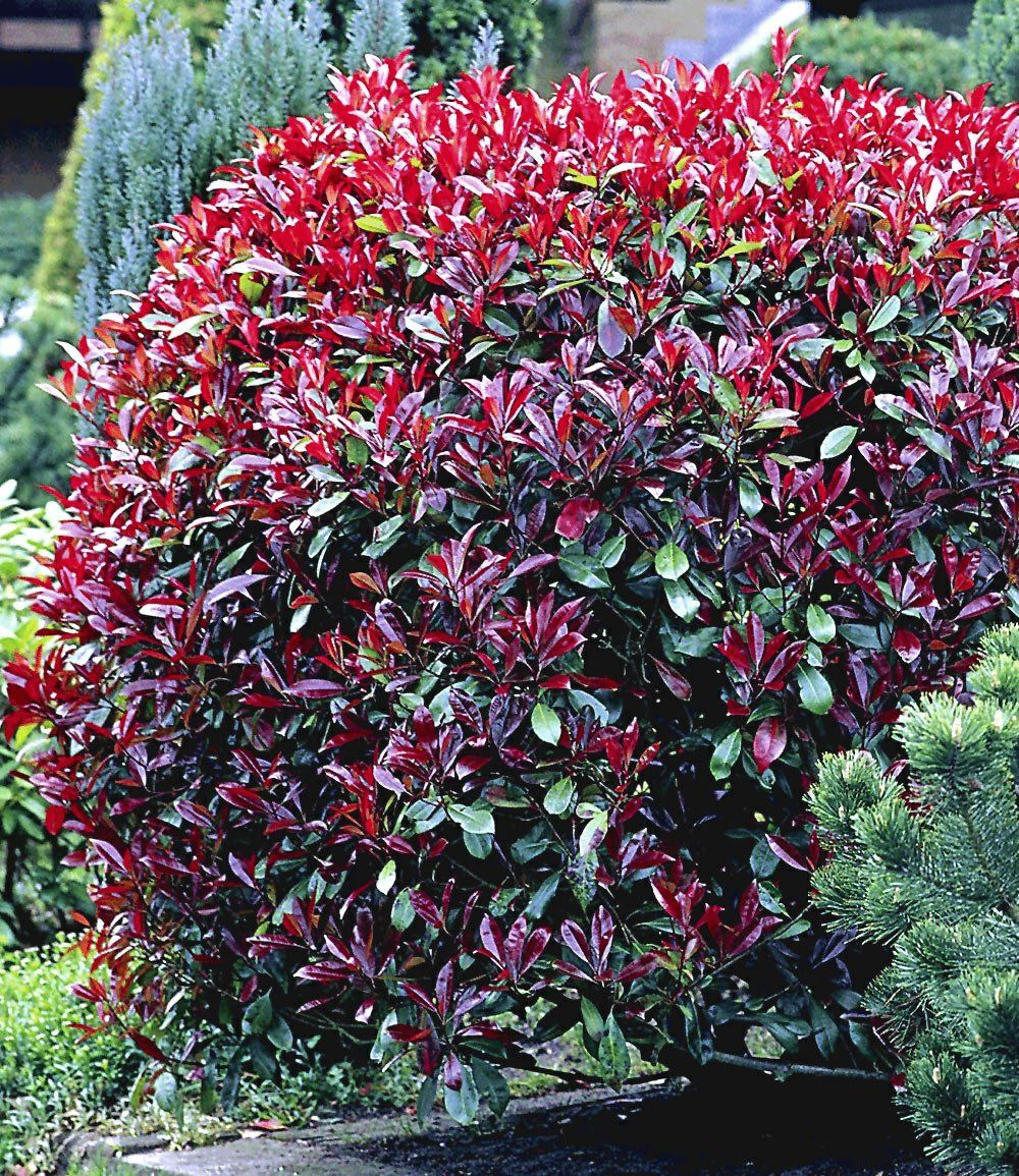 Photinia Hecke Red Robin Garten Pinterest