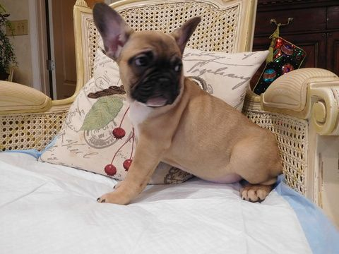 Litter Of 2 French Bulldog Puppies For Sale In Gaithersburg Md