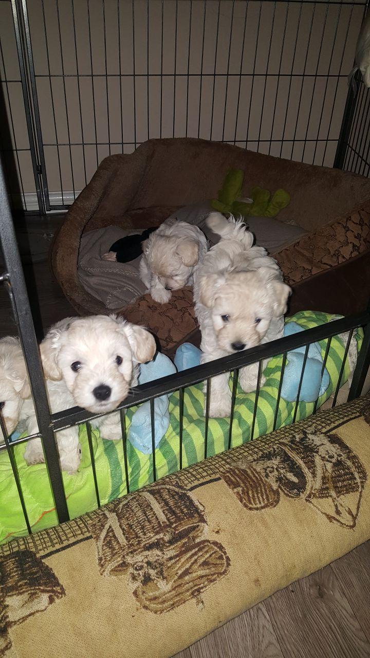 Stunning Westiepoo Pups Telford Shropshire Pets4homes Westiepoo Pup Cute Dogs