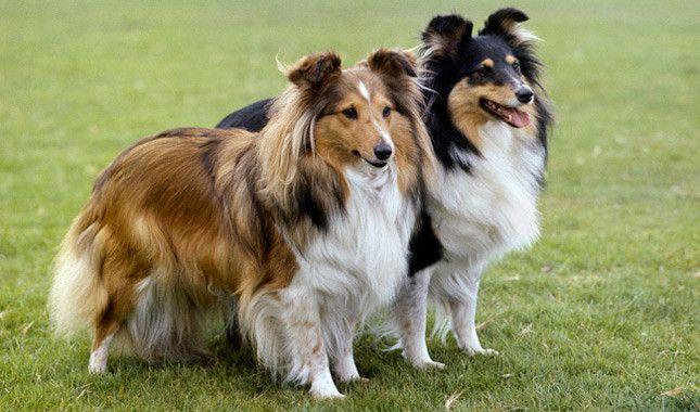 Shetland Sheepdog Dog Breed Information Loyal Dog Breeds
