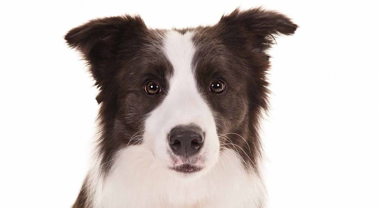 Border Collie Dog Breed Information Border Collie Dog Breeds