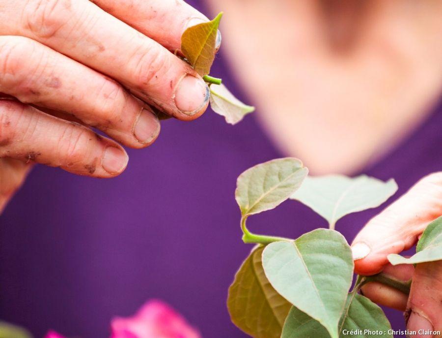Le bougainvillier : bien le choisir et l'entretenir   Bougainvillier, Arbuste, Plantes ...