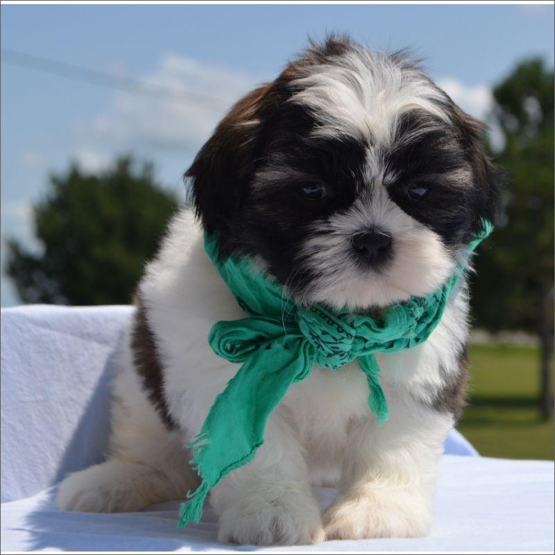 Shih Tzu Puppy For Sale In Tucson Az Adn 43267 On Puppyfinder Com Gender Male Age 9 Weeks Old Shih Tzu Puppy Shih Tzu Puppies