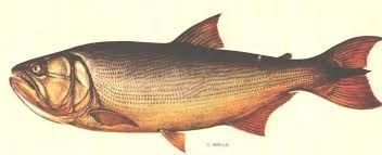 Resultado De Imagen Para Dorado Pez Pesca Tallados Dibujos