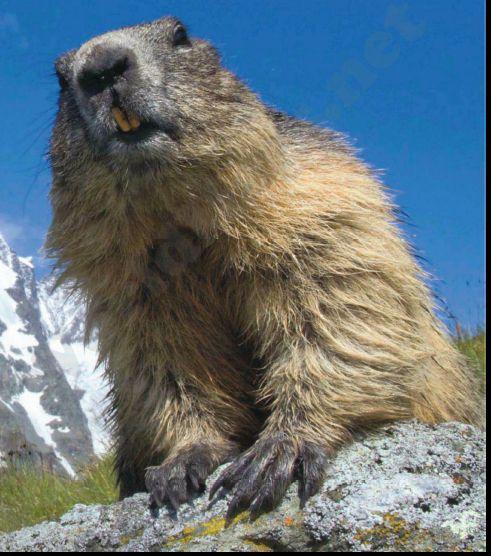 Marmott Marmotte Animaux Montagnes