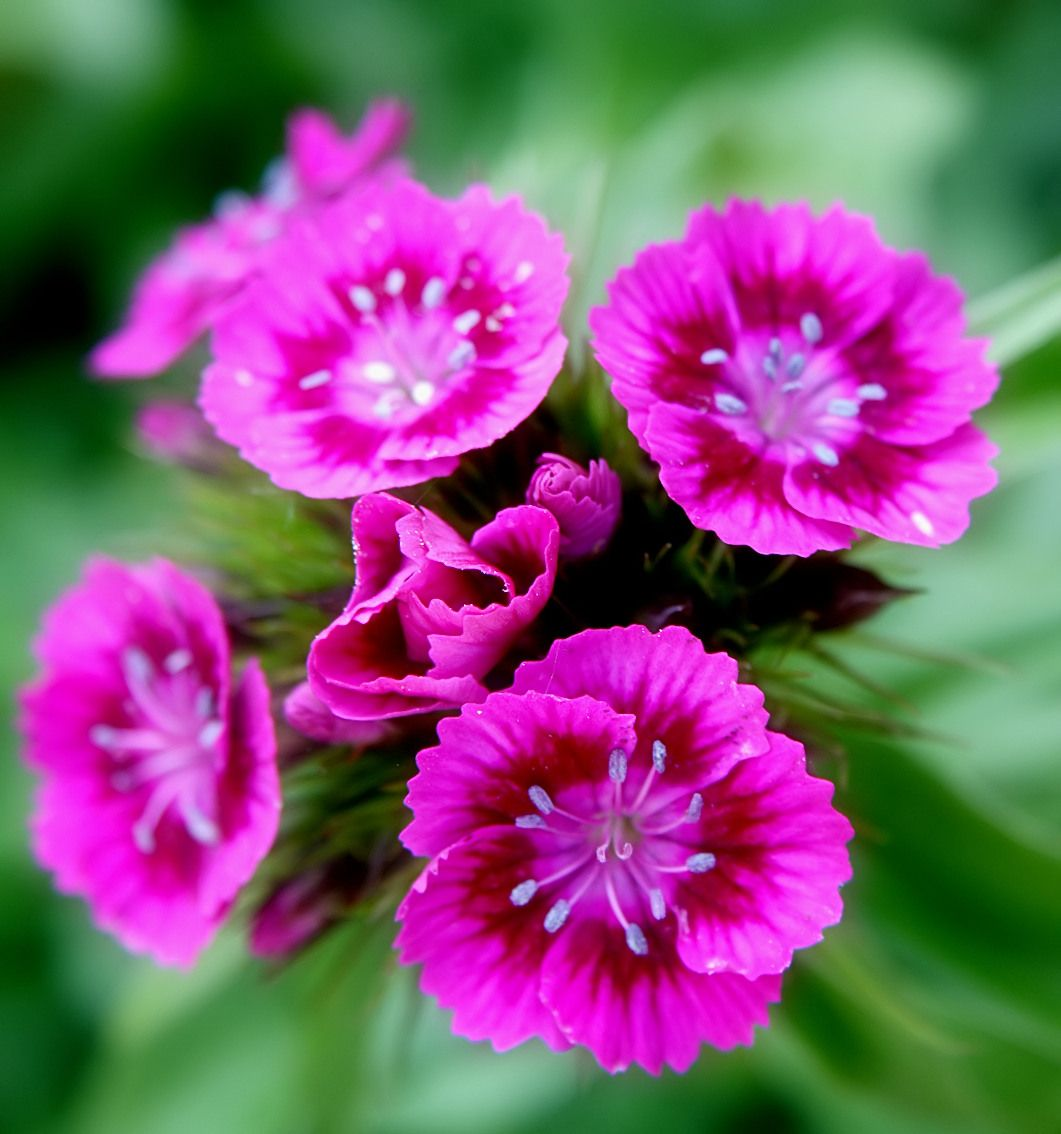 Types Of Exotic Flowers Types Of Sweet William Flowers