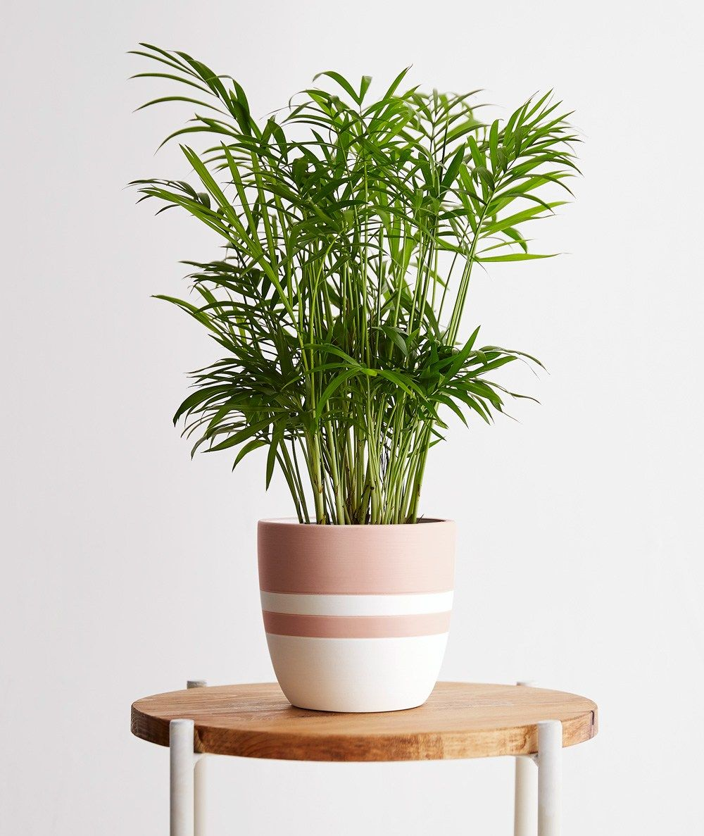 how to care for a cat palm plant