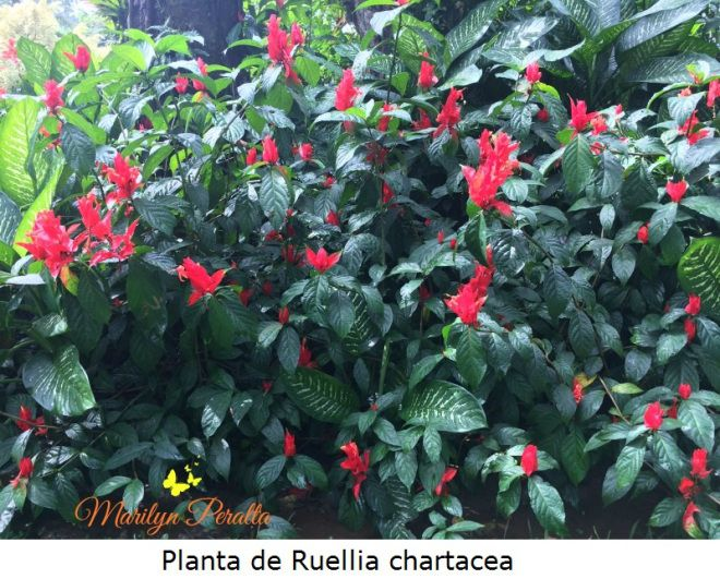 Ruellia chartacea for Arbustos de interior