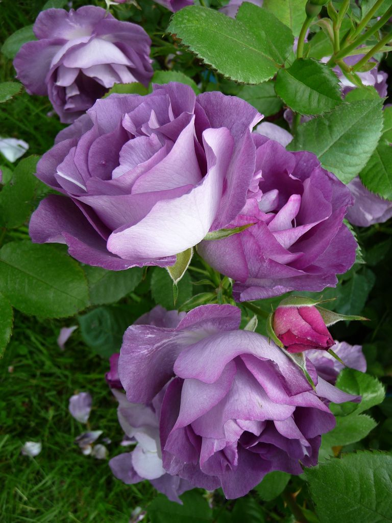 hot sales 5c32b ab8ec Bury your banana peels under your rose bushes  they love the potassium. No  need to dig down and bury them deep. I just wipe away a little dirt and  leaves, ...
