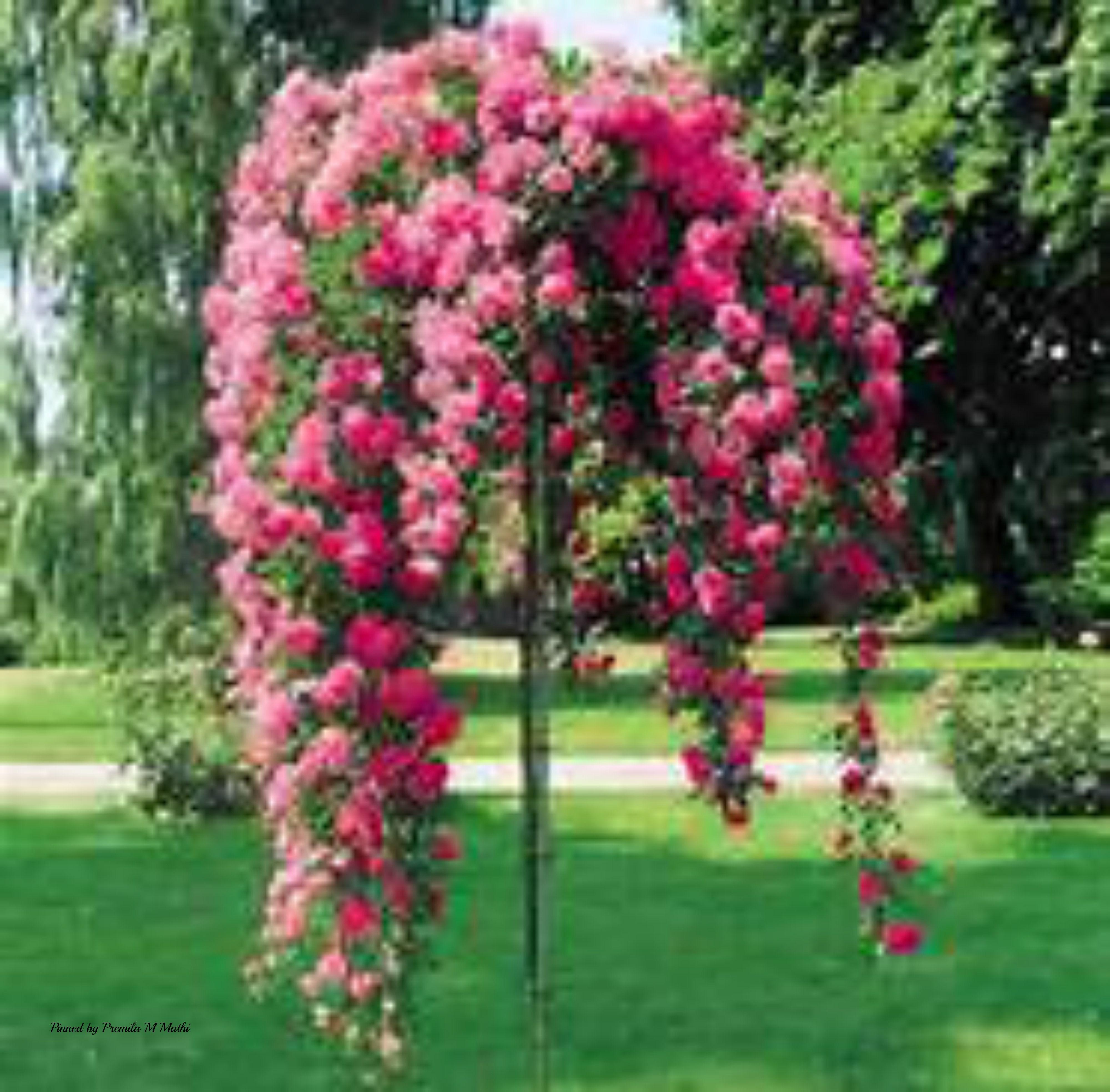 Rose garden nagai japan