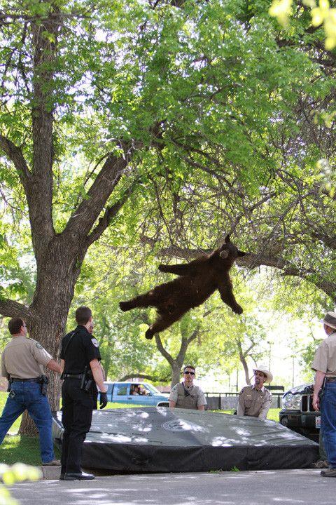 bear falling from tree.