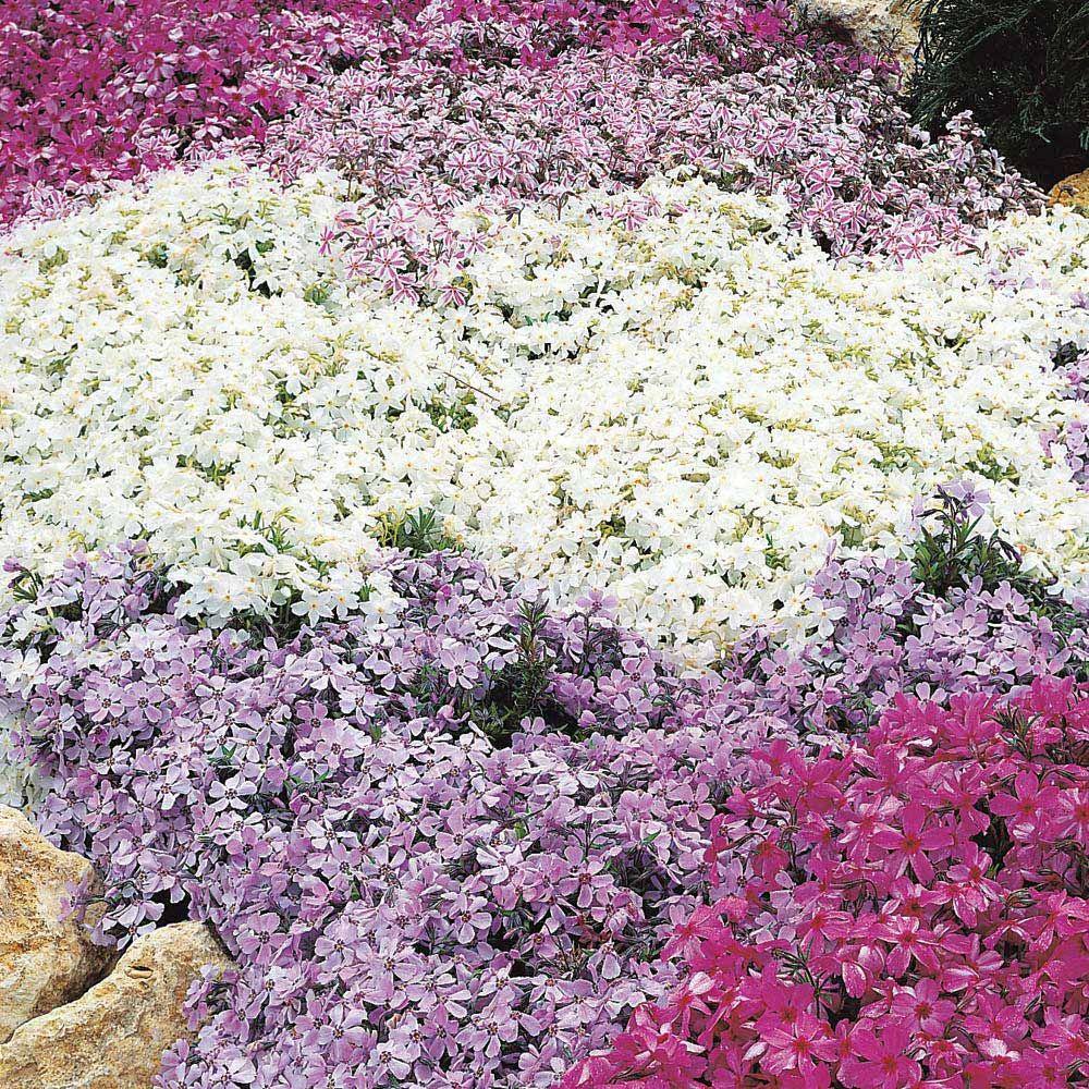 Phlox mixed creeping herbaceous border plants van meuwenhis phlox mixed creepingphlox subulatamoss phlox izmirmasajfo