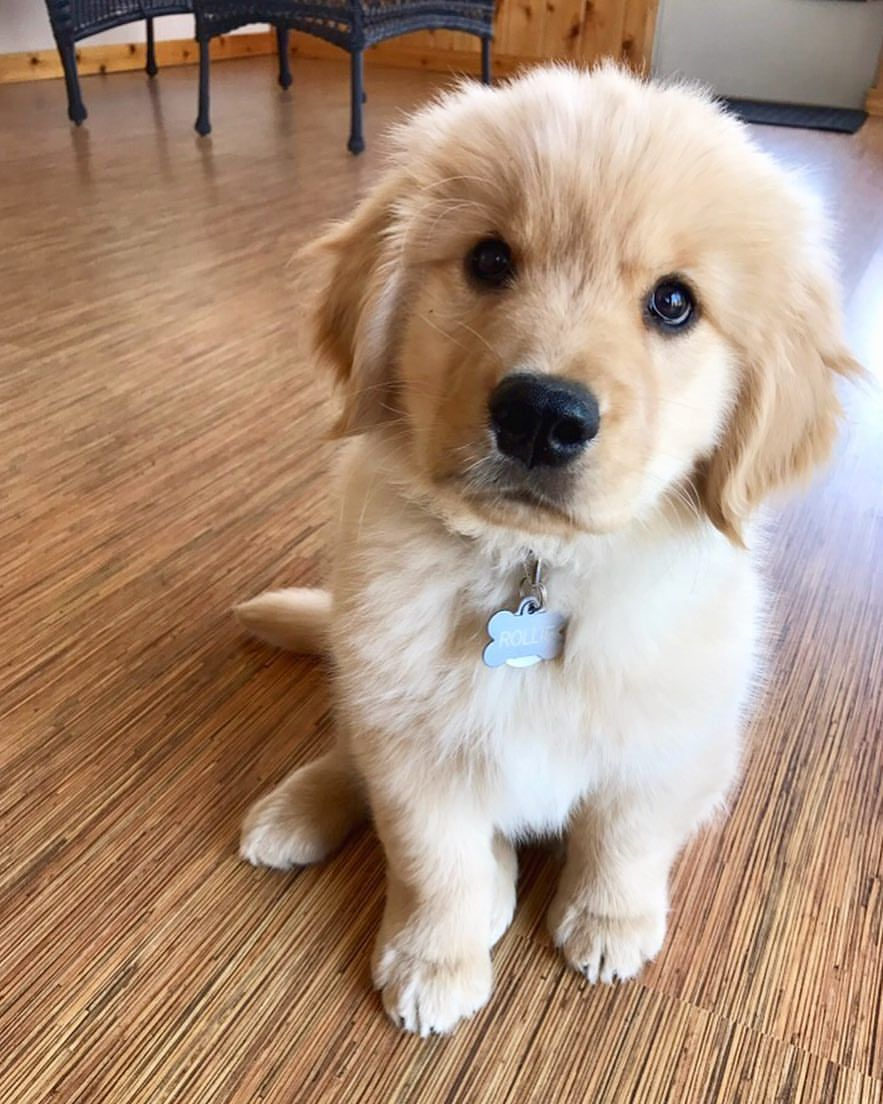 Rollo The Golden Retriever Puppy Retriever Puppy Dogs Golden
