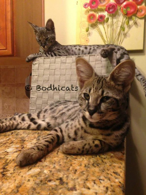 Bodhicats Breeder Of High Quality Savannah Cats In Jacksonville Florida Savannah Cat Savannah Chat Cats