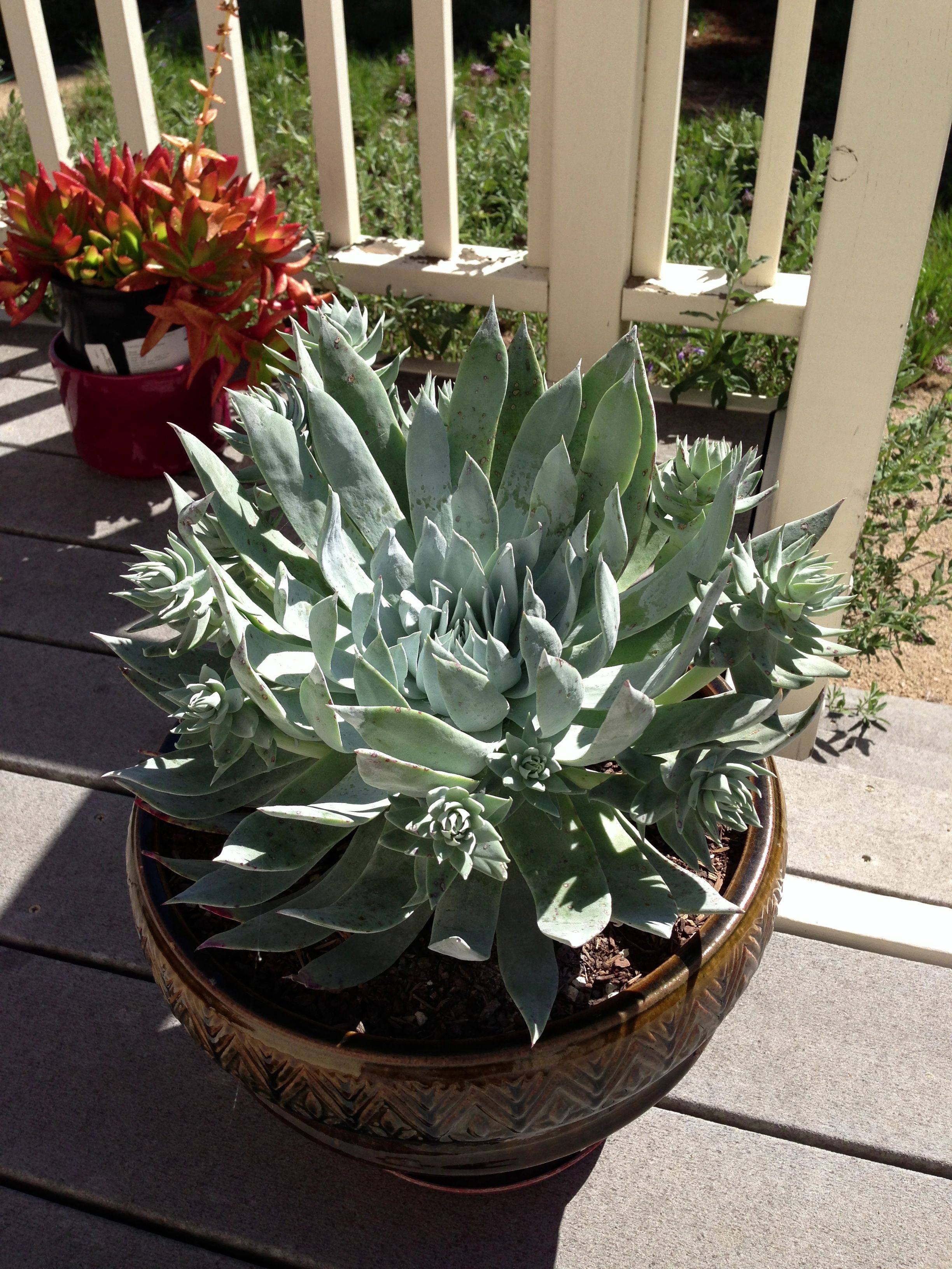 chalk dudleya pulverulenta potted