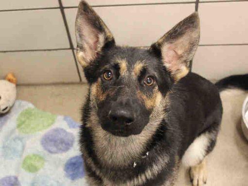 Fort Wayne In German Shepherd Dog Meet Mala A Dog For Adoption