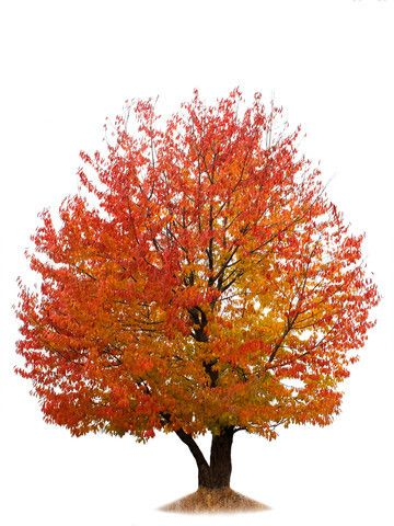 Autumn Tree Isolated On White Backg - Google Search | TREES AND
