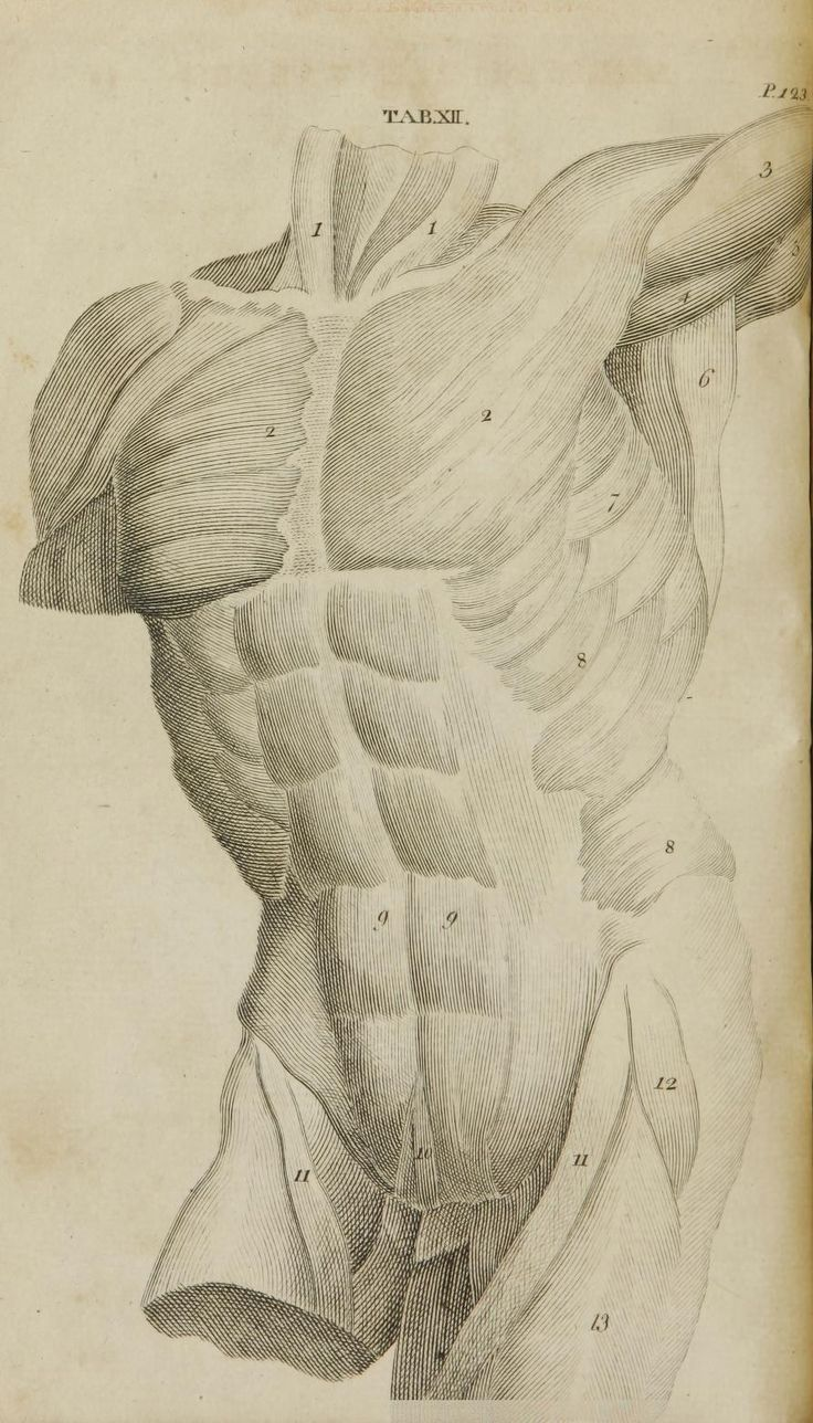 Grabado de los músculos del torso de William Cheselden \