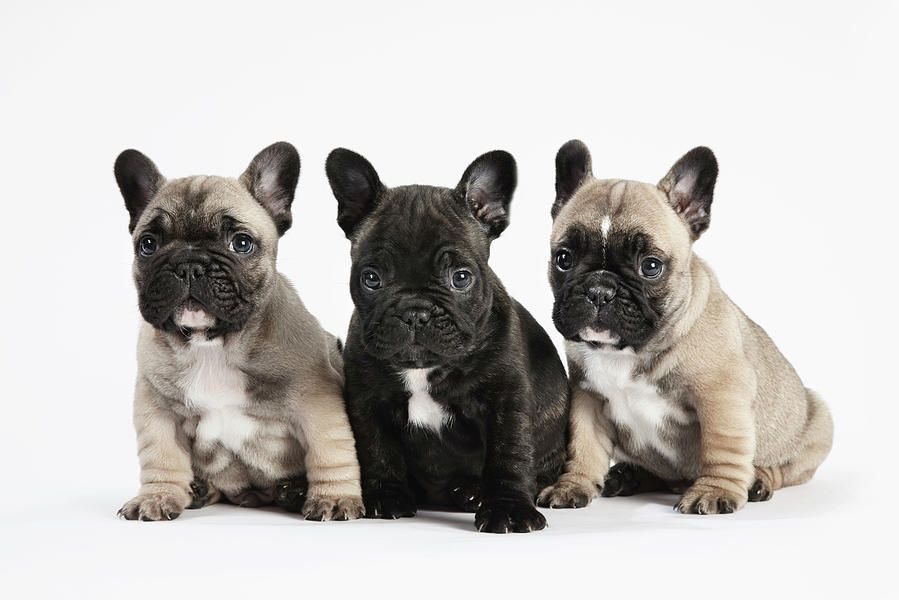The French Bulldog Is A Small Breed Of Domestic Dog Frenchies