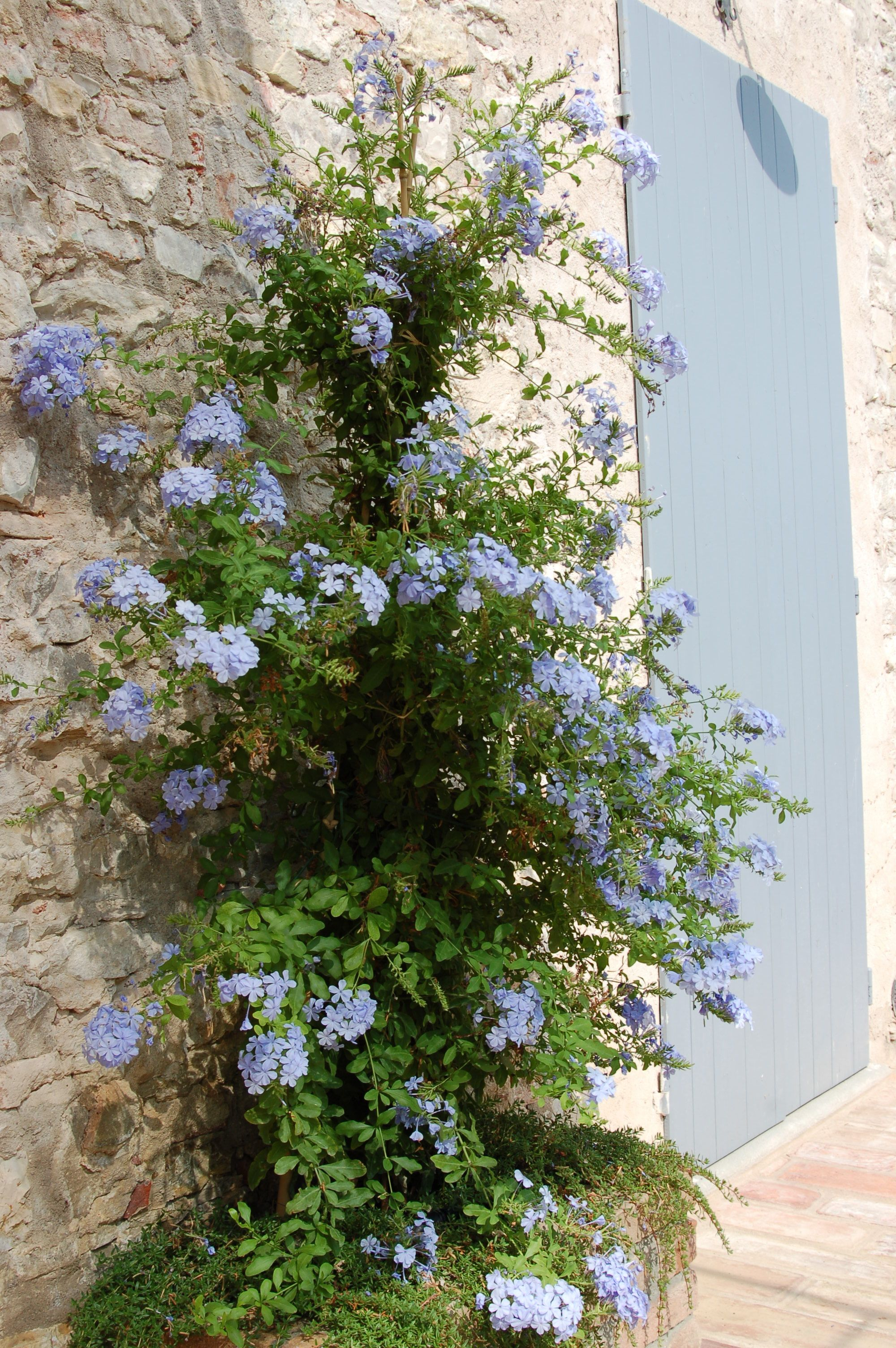 Concime Per Glicine In Vaso plumbago. for behind the bird of paradise to climb up