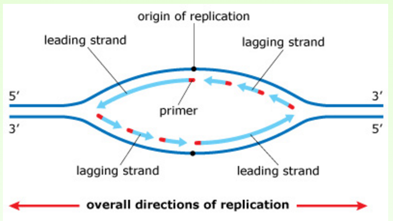 Image result for dna replication bubble diagram Dna